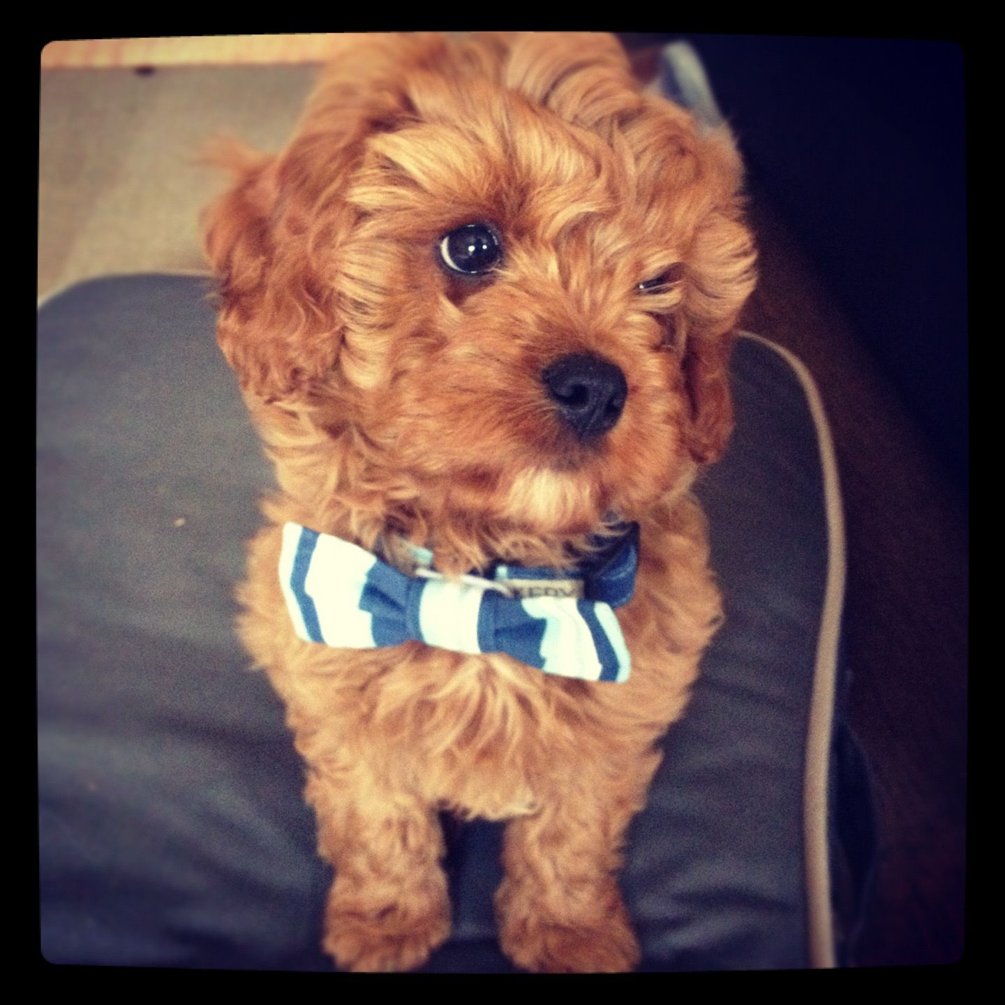 Chester S Bow Tie Collar By Bwbarkery On Etsy Cavoodle 10 Weeks