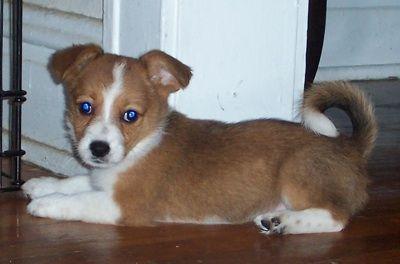 Corillon Dog Breed Information And Pictures Corgi Pembroke Welsh Corgi Designer Dogs