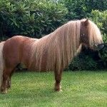 The Shetland Pony is a breed of pony that originated in the Shetland Isles. They range in size from 28 inches to 42 inches tall. These ponies have heavy coats, short legs, and are thought of to be quite intelligent.
