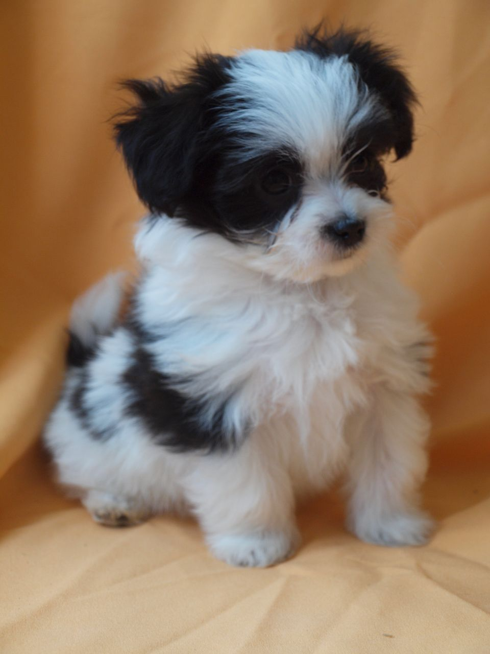 Pic Only Maltipoo Black And White So Sweet Black Maltipoo Cute