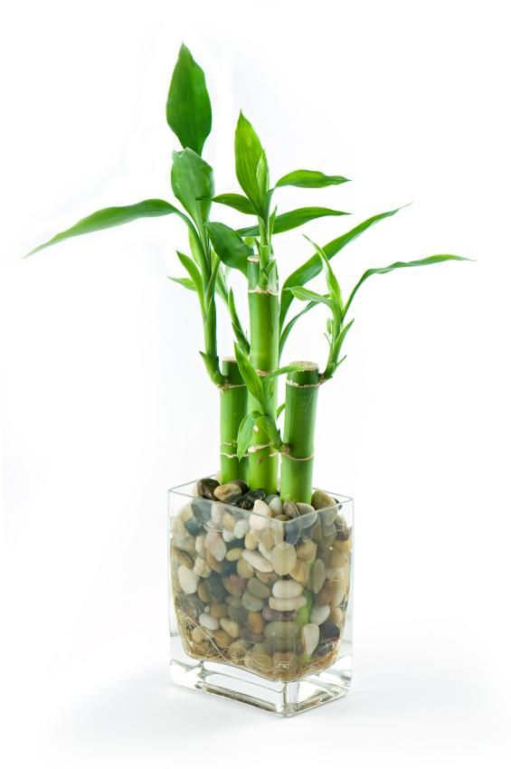 Peace And Harmony Adding A Lucky Bamboo Plant Change The Rocks Into Colors You Like
