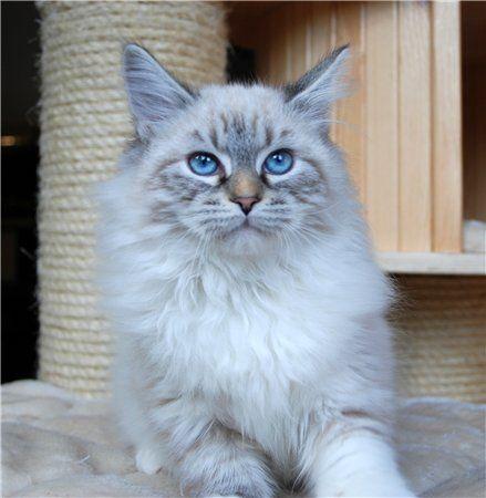 Romantic Melody S Neva Masquarade Sibirische Katze Sibirische Katze Katzen Weisse Katzen