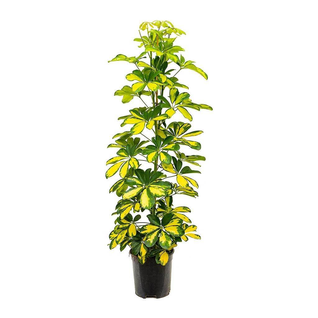 Schefflera Gold Capella Dwarf Umbrella Tree Umbrella Tree Schefflera Air Cleaning Plants