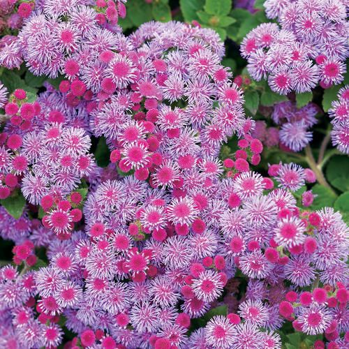 Violet Flossflower Ageratum Deer Resistant Upright Full Habit With Large Leaves And Flowers All Season Long Plants Annual Plants Deer Resistant Plants