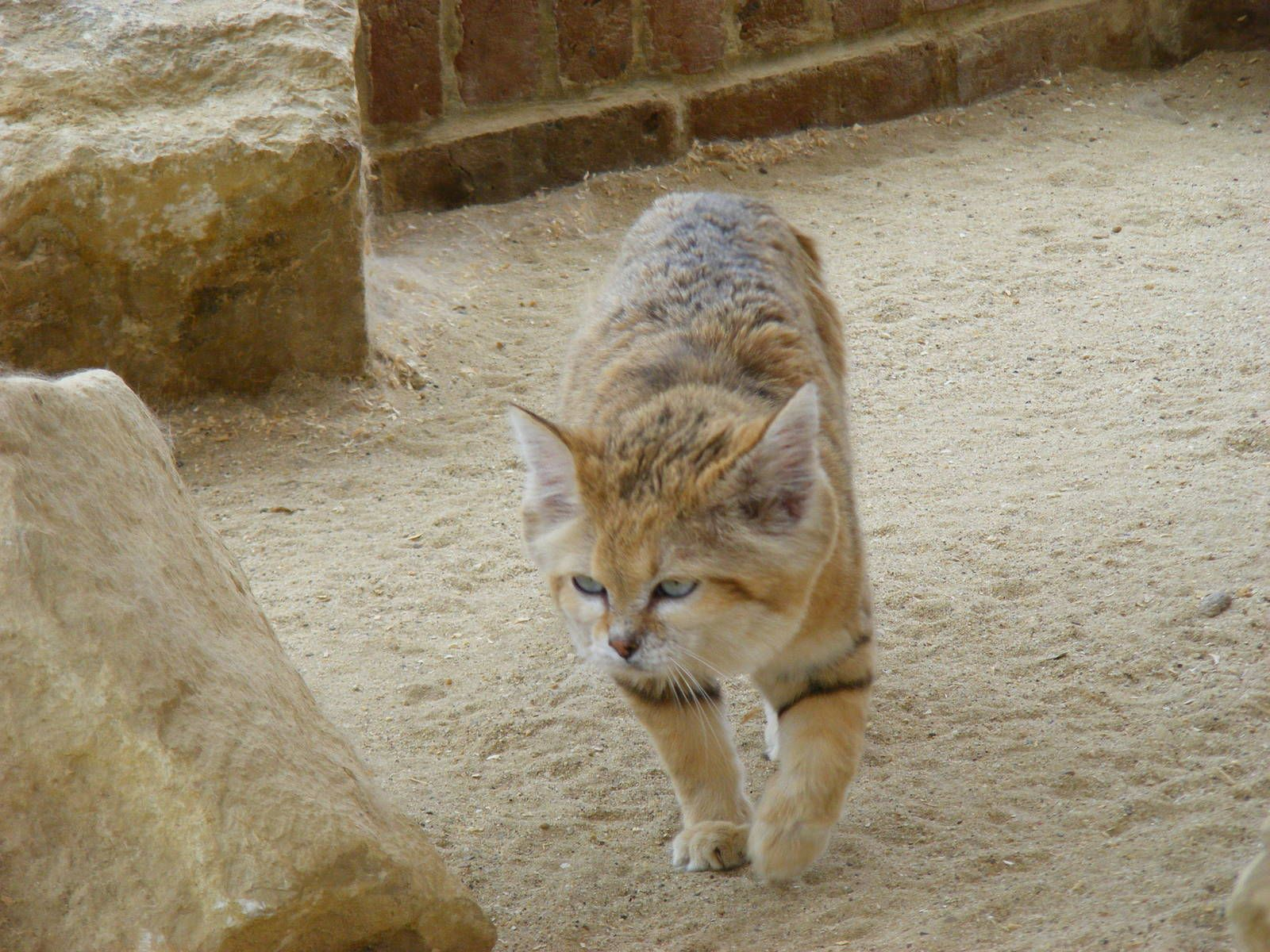 Sand Cat Arabian sand cat at Marwell Wildlife, 9 May