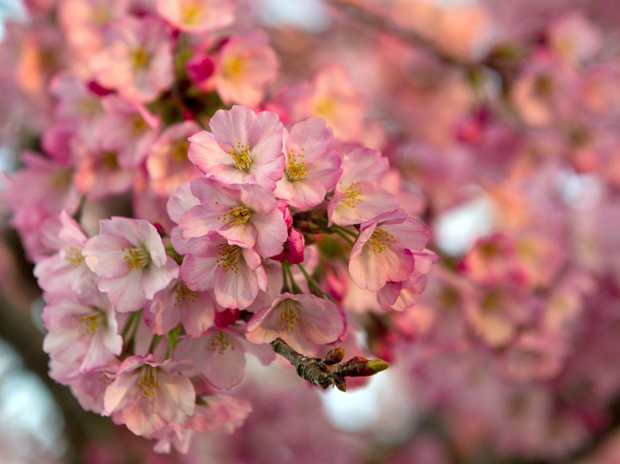 Washington Dc Cherry Blossom Photos Mini Session Sea Of Blush Mini Photo Sessions Photo Sessions Cherry Blossom