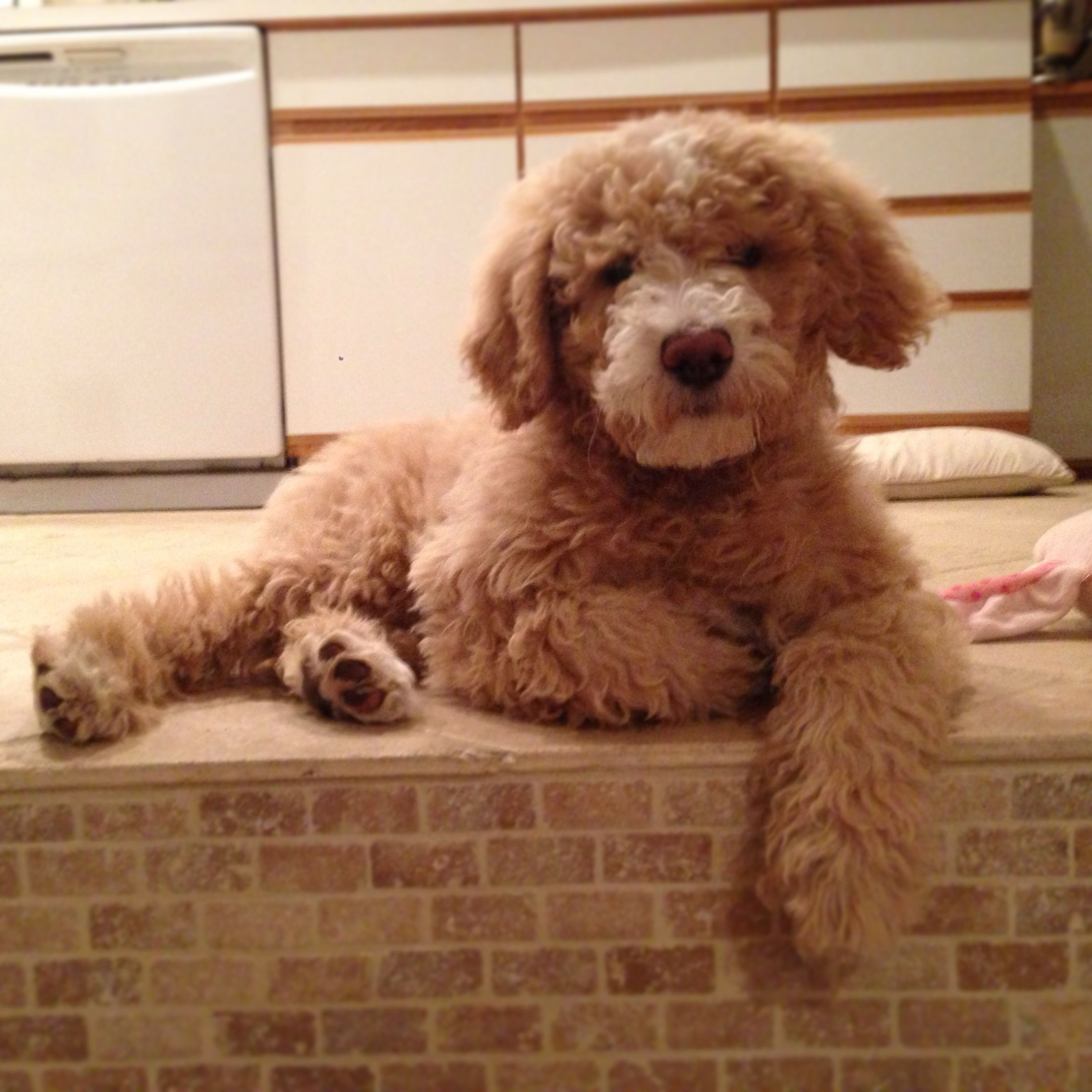 labradoodle labrador retriever and poodle mix - HD 2448×2448