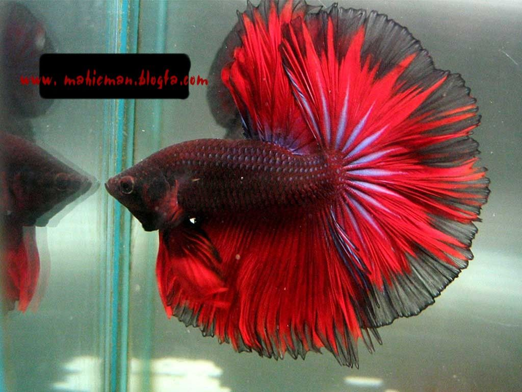 Love these colors!! | ° Betta Fish ° | Pinterest | Betta, Fish and ...