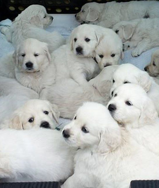 Golden Retriever Puppies 12 Adorable Litters Of Baby Animals