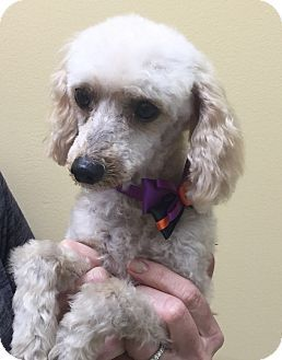 Pictures Of Lucky Charms A Poodle Miniature Mix For Adoption In