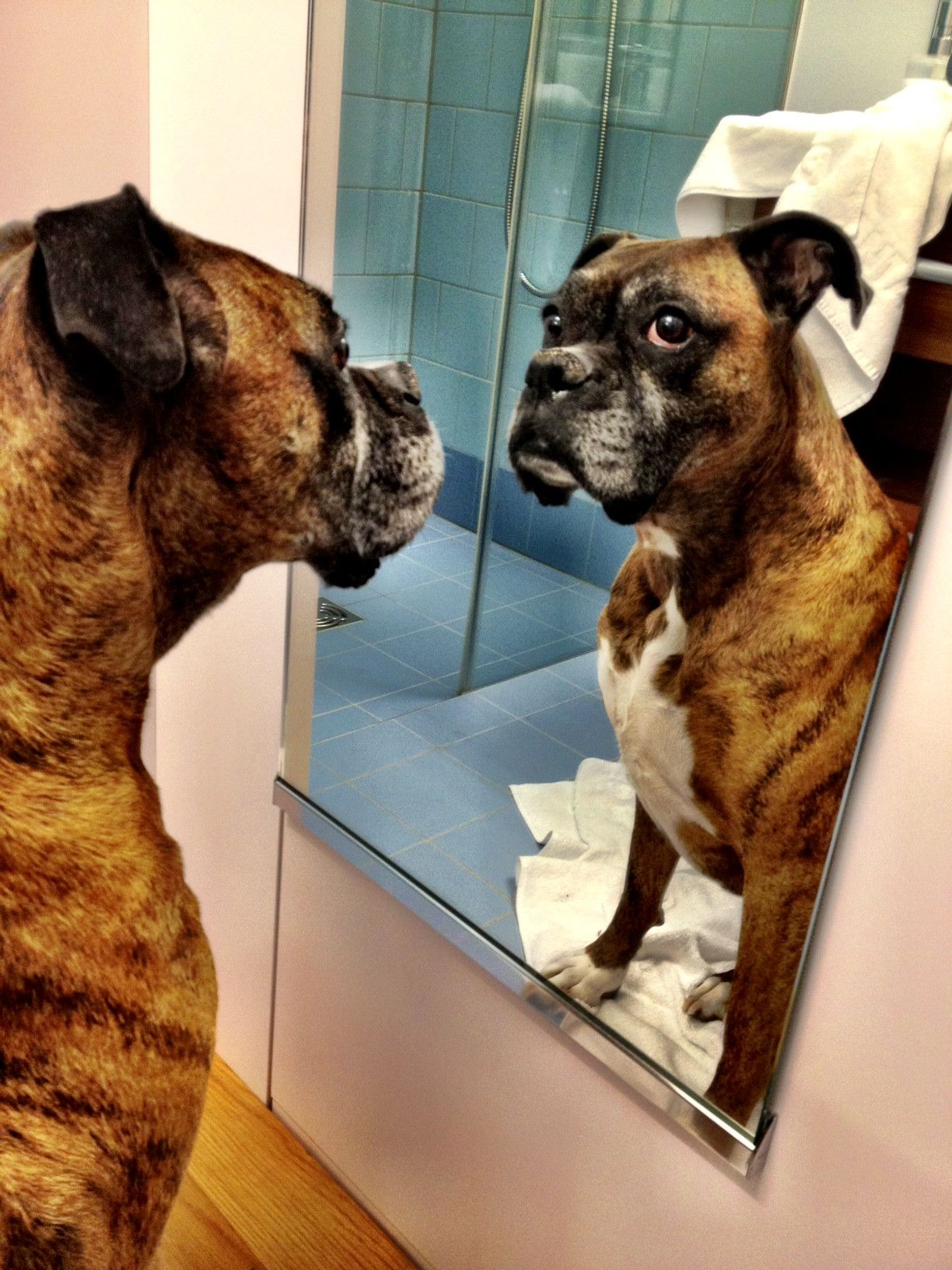 Mirror Mirror On The Wall Boxer Dogs Boxer Love Boxer Puppies