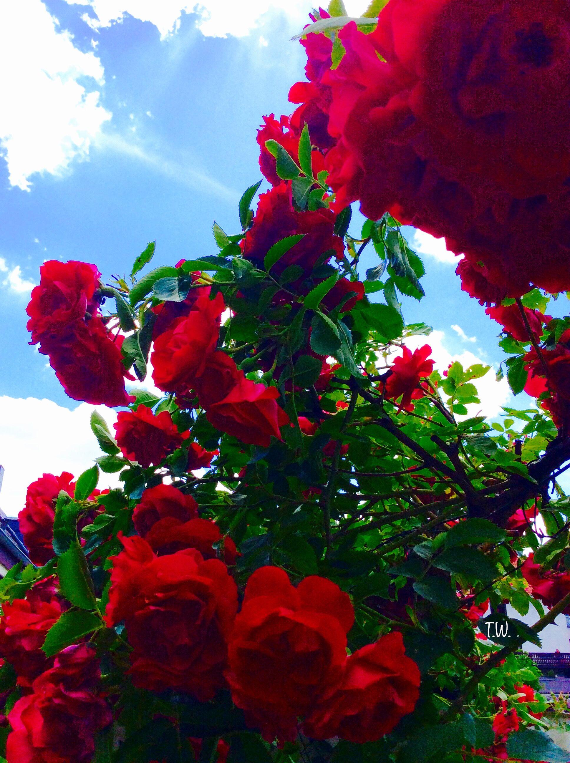 Aesthetic Rose Wallpaper Hd