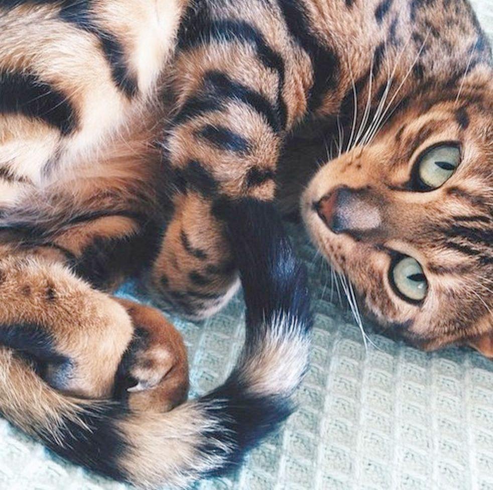 Impressive Beautiful Cats For Sale Near Me Pinterest Beautiful Cats Animals Pretty Cats