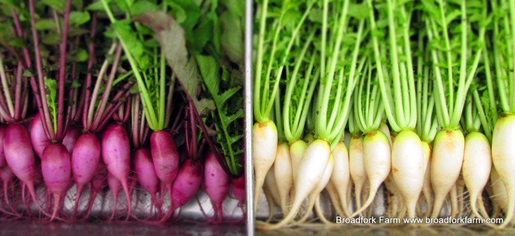 Winter radish Vegetables, Fermented vegetables, Fermentation