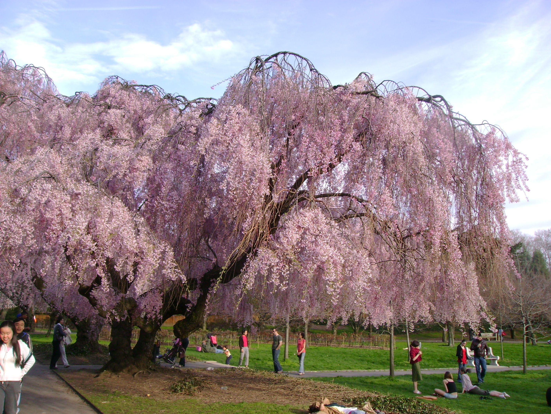 cherry blossom tree cherry tree japanese hd