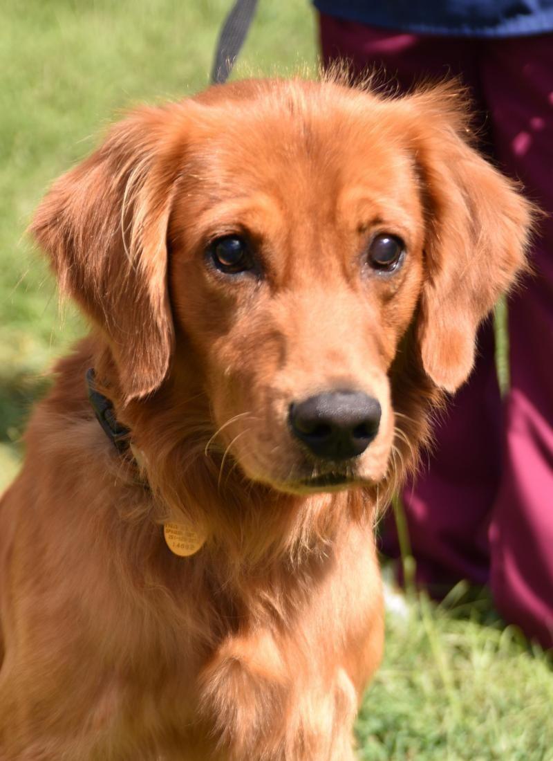 Adopt Zeus On Golden Retriever Dog Adoption Dogs