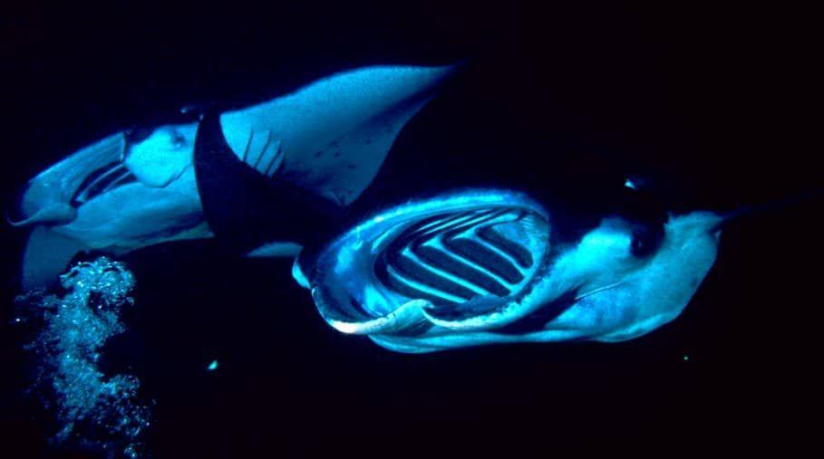 Manta Ray Snorkel And Dive Guide For Hawaii Kailua Kona Big