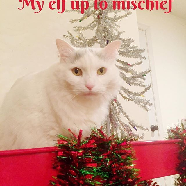 He certainly is a naughty boy! || #cat #cute #kitty #christmas #christmastree #holiday #winter #fluffy