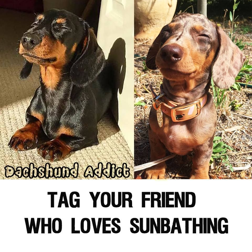 Sausage Dog Dachshund Love Dachshund Puppy Doxie Dackel Funny Pet