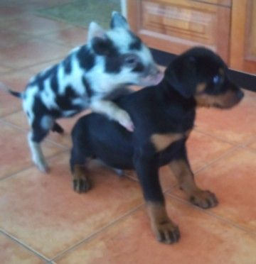 Miniature Pigs Miniature Pig Livestock In Qld For Sale
