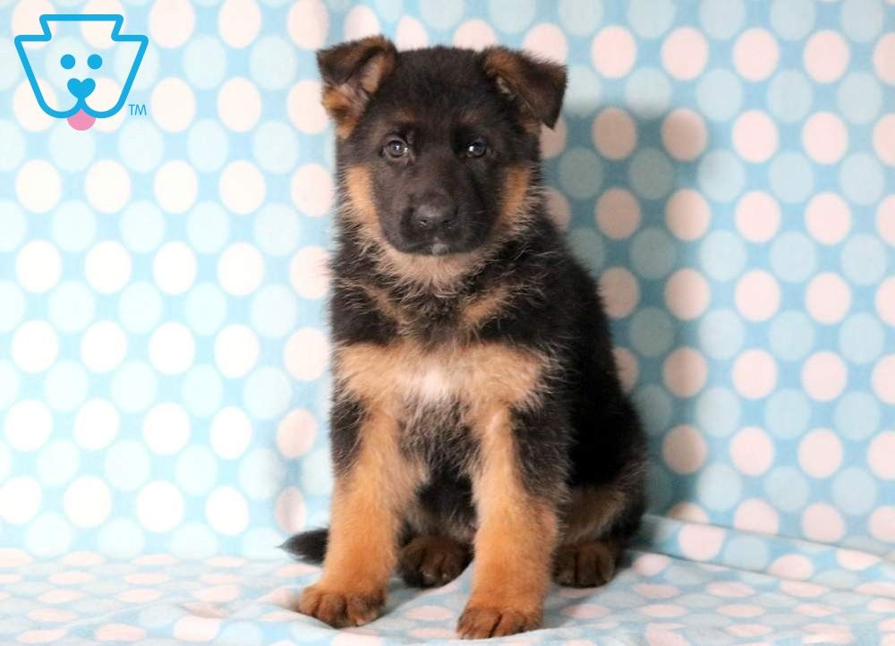 Gizmo German Shepherd Puppies Puppies Puppies For Sale