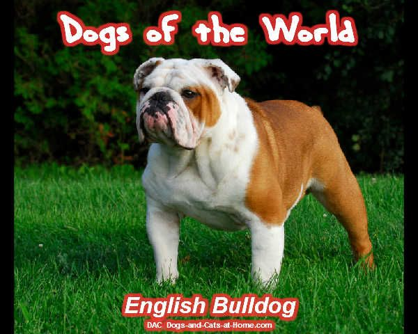 English Bulldog Vic Teure Hunde Bulldogge Englische Bulldogge
