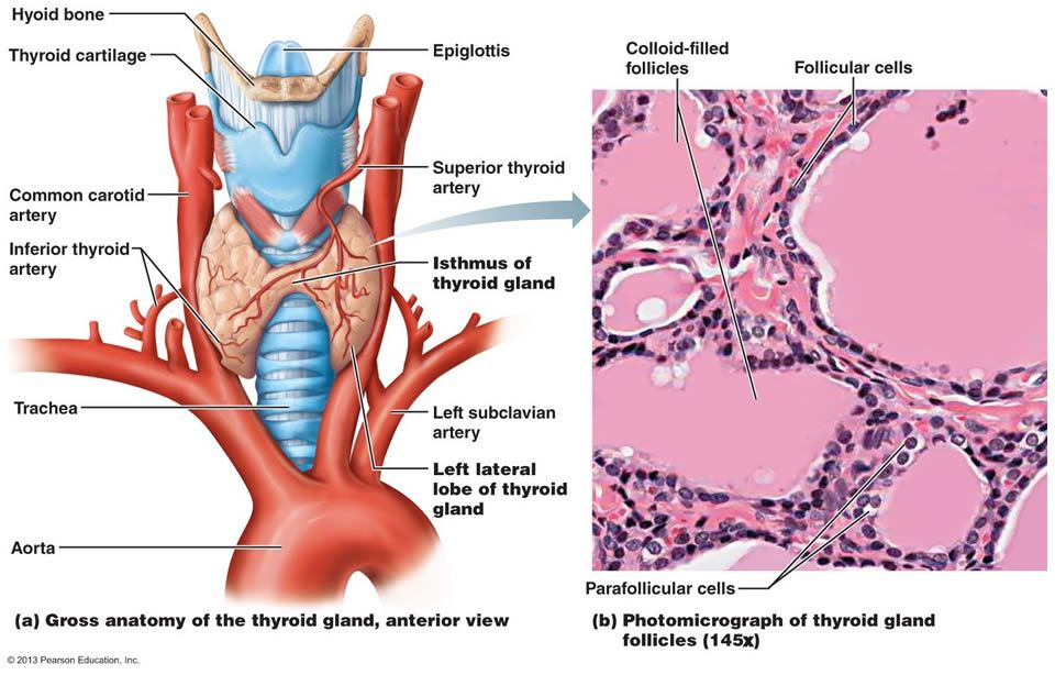 The Thyroid Gland Consists Of Hollow Follicles With Follicle Cells