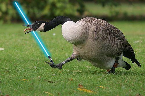 Goose Skywalker Canadian Goose Funny Animals Canada Goose