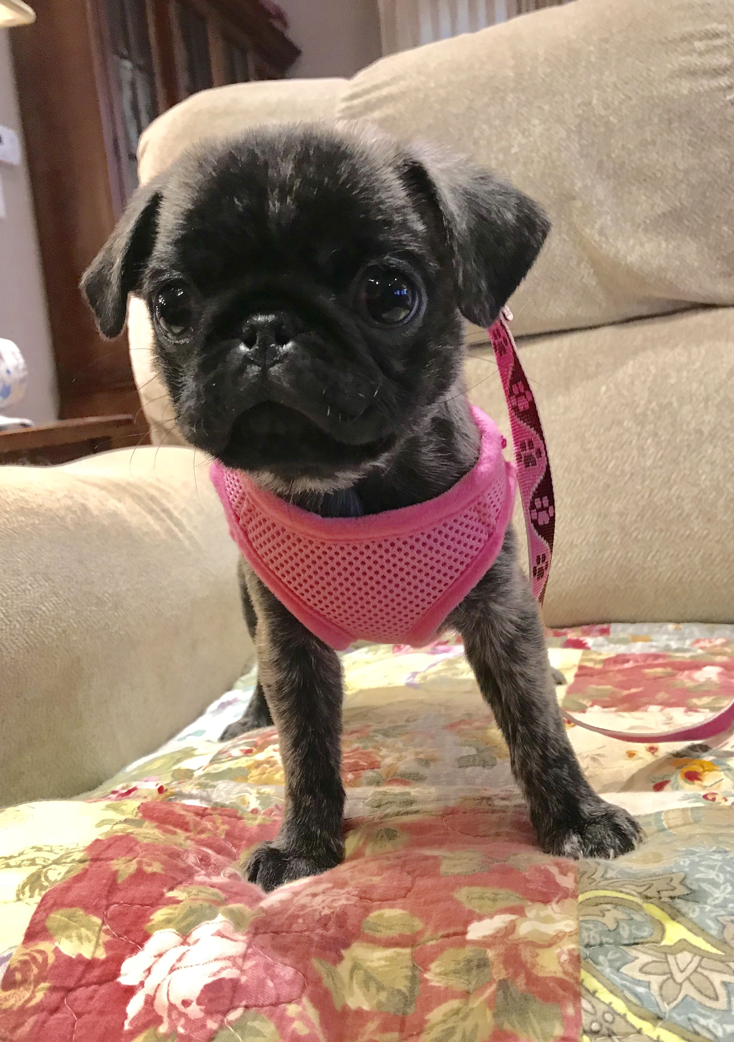 Lil agnes newest member of our grumble pugterest pinterest animal lil agnes newest member of our grumble thecheapjerseys Choice Image