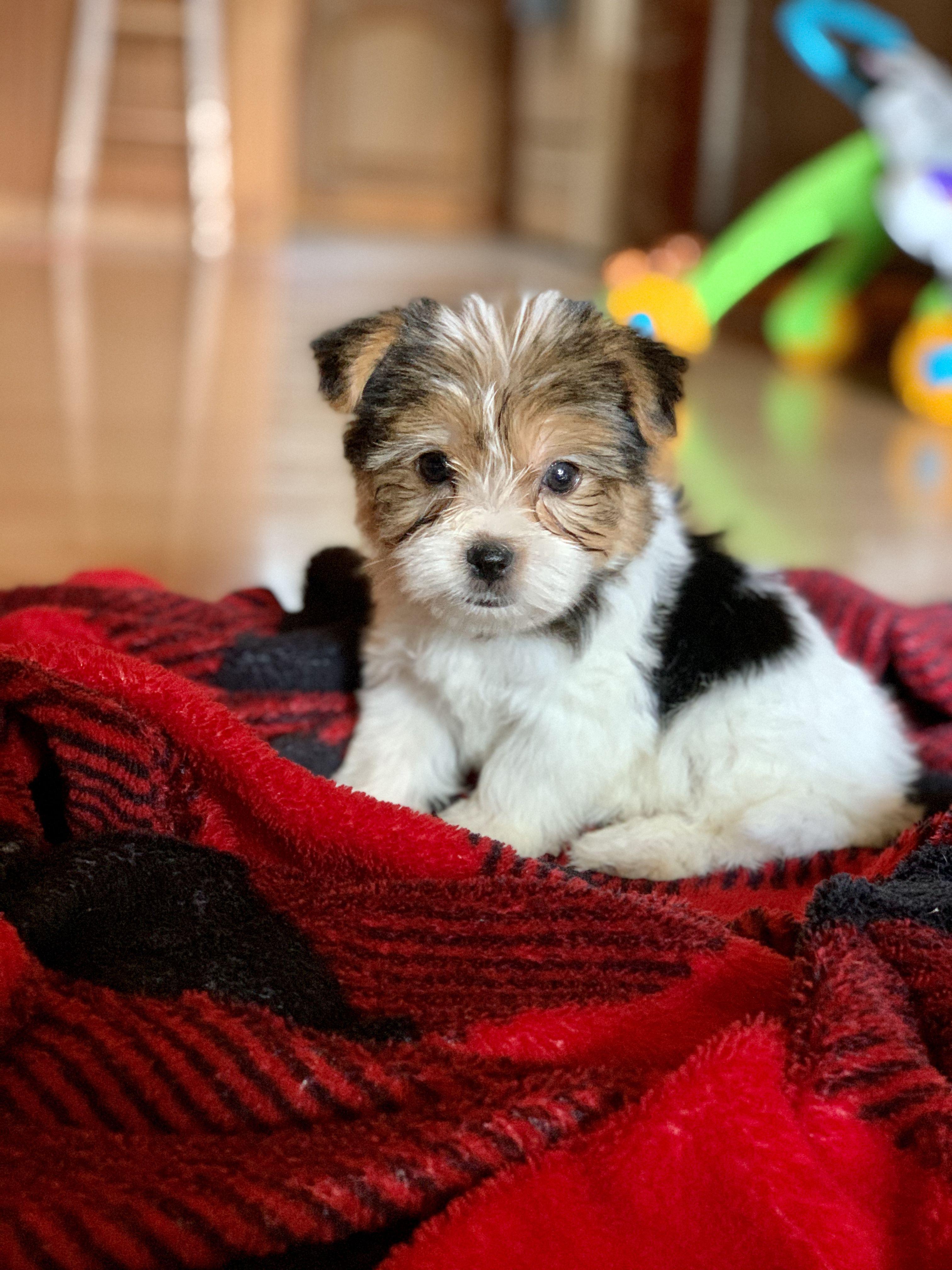 Yorkshire Terrier Parti Yorkie Puppy In 2020 Yorkie Puppy