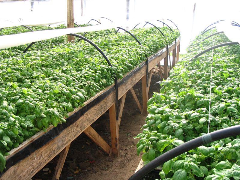 Cultivo hidrop nico de albahaca en ra z flotante huerto for Cultivo de albahaca en interior