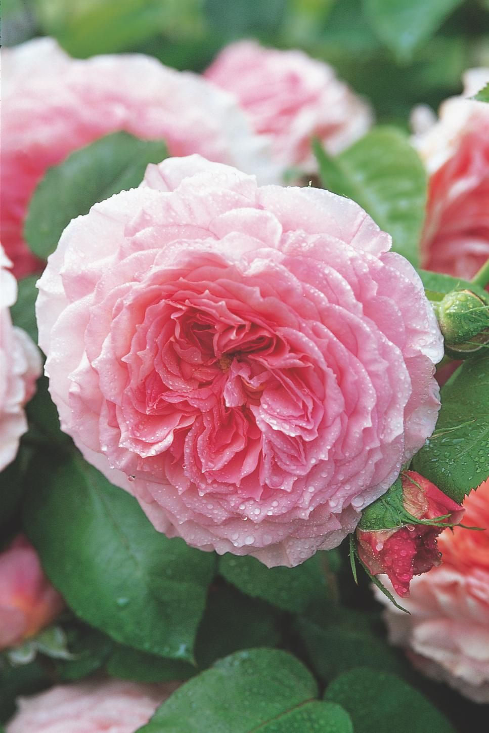 The most popular english roses in america a rose garden british rose breeder david austin creates some of the most beautiful flowers in the world find out which roses are most in demand in american gardens izmirmasajfo