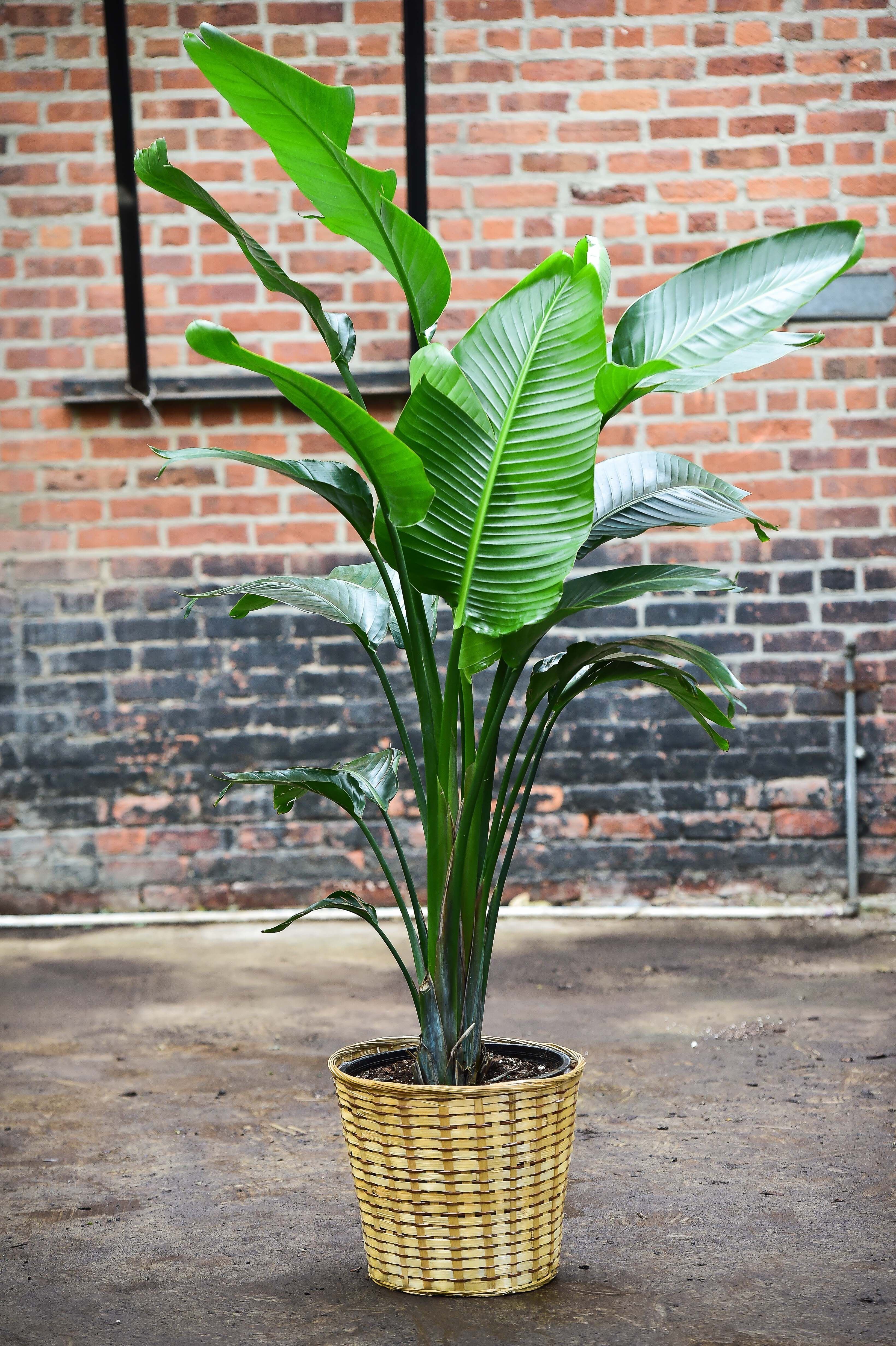 Travelers Palm Bird Of Paradise Big Leaf Indoor Plant Big Leaf Plants Birds Of Paradise Plant