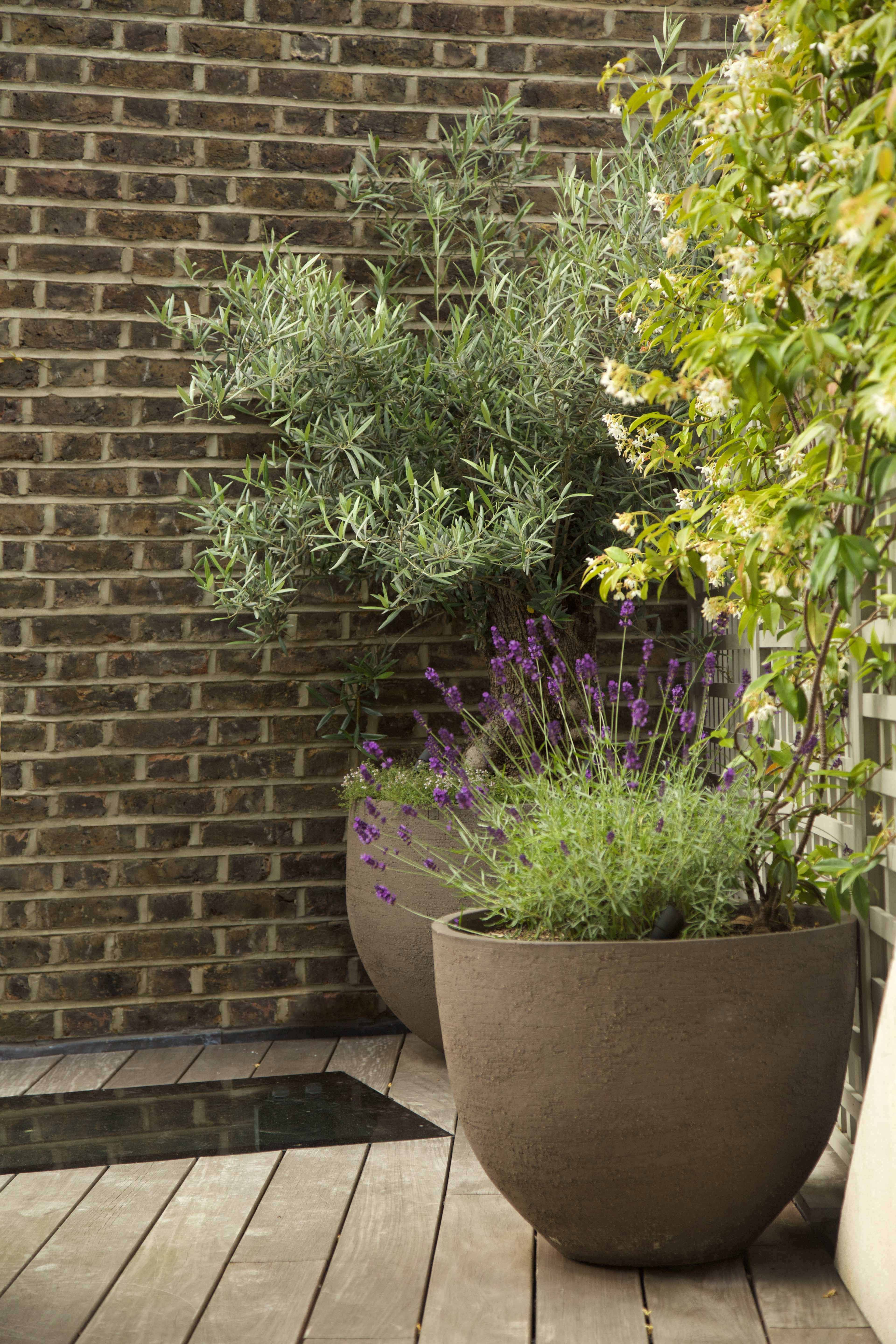 Olive Tree Underplanted With Creeeping Thyme Lavender And Jasmine Climbers In Atelier Vierkant Pots Potted Trees Garden Design Planter Design
