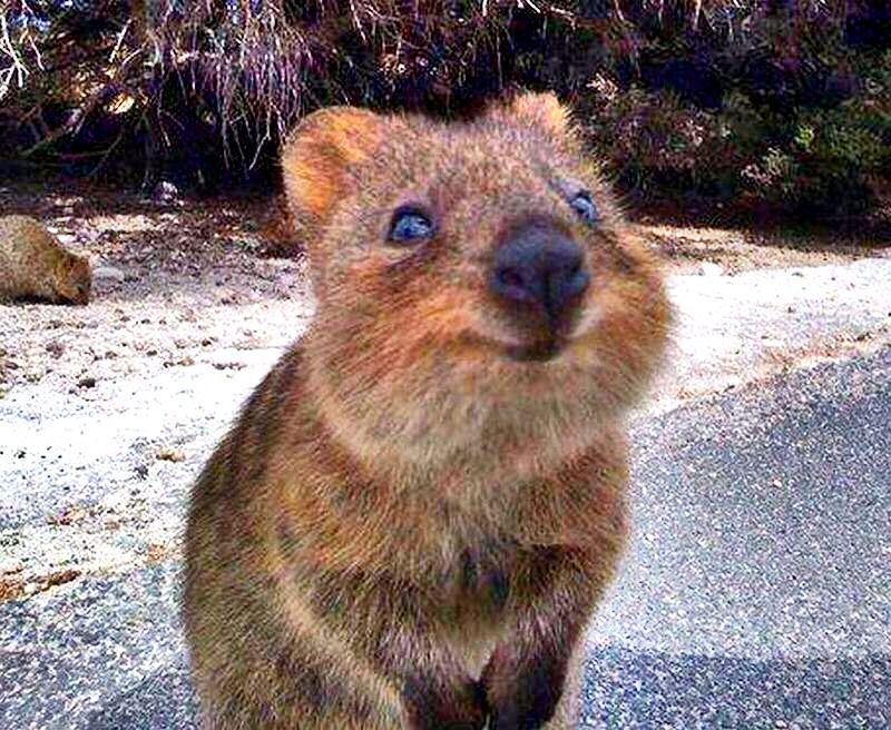 quokka smiling - photo #10