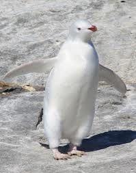 Albino Penguin. | 'Albino' Creatures...Not the same as ...