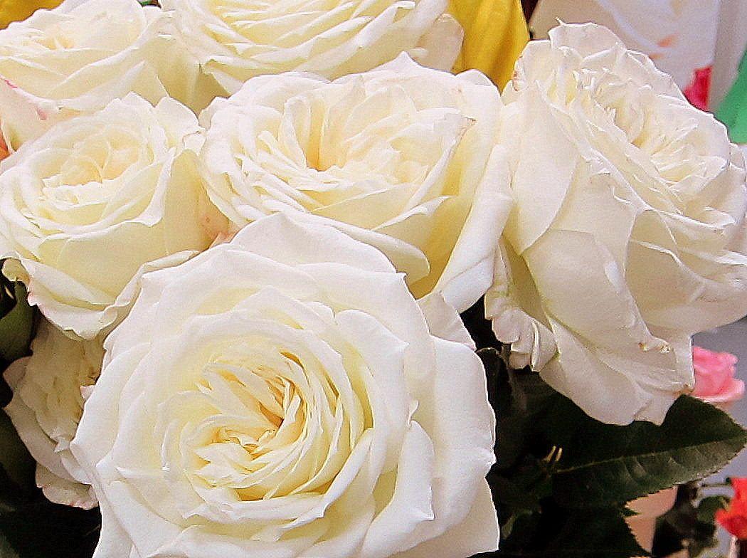 Merveilleux Alabaster Garden Roses