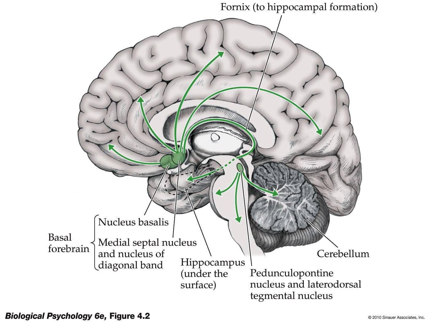 Cells of Acetylcholine Orgin: Dorsolateral Pons, Basal Forebrain ...