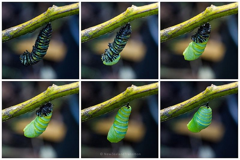 Monarch Caterpillar a Chrysalis Monarch