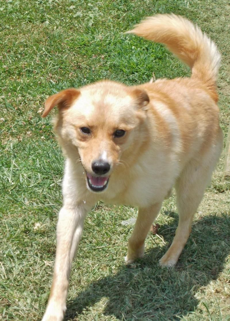 Adopt Mason on Golden retriever mix, Humane society