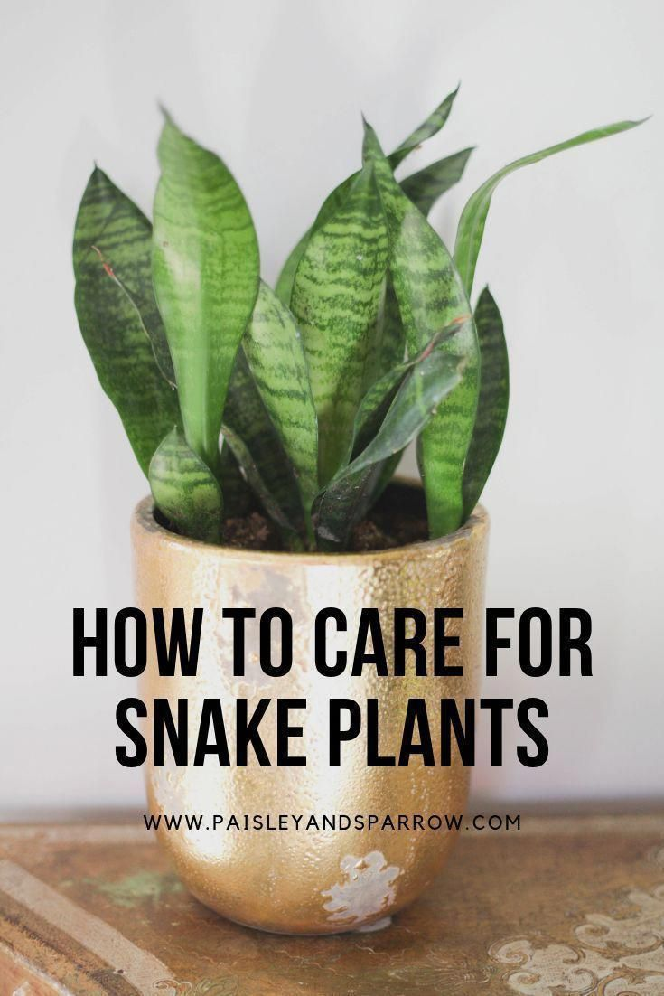 A fantastic guide to how to care for snake plants These are great beginner plants that are hard to kill check this out