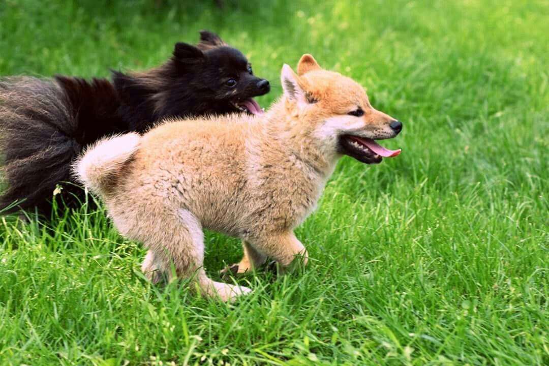 Yuki the Shiba Inu puppy