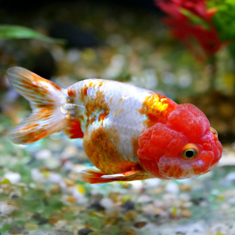 Lionhead Goldfish For Sale From Windsor Fish Hatchery The Largest Range Of Goldfish In Australia With New Fish Every Goldfish Goldfish For Sale Fish Hatchery