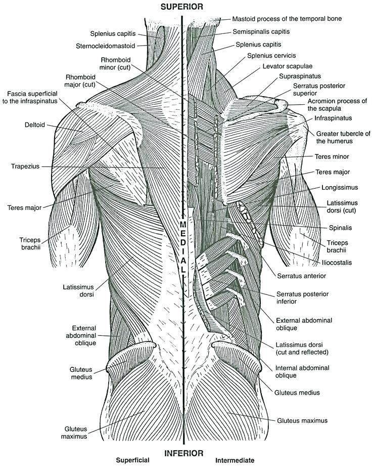 Muscles Coloring Pages Abdominal Anatomy Page Book Ideas