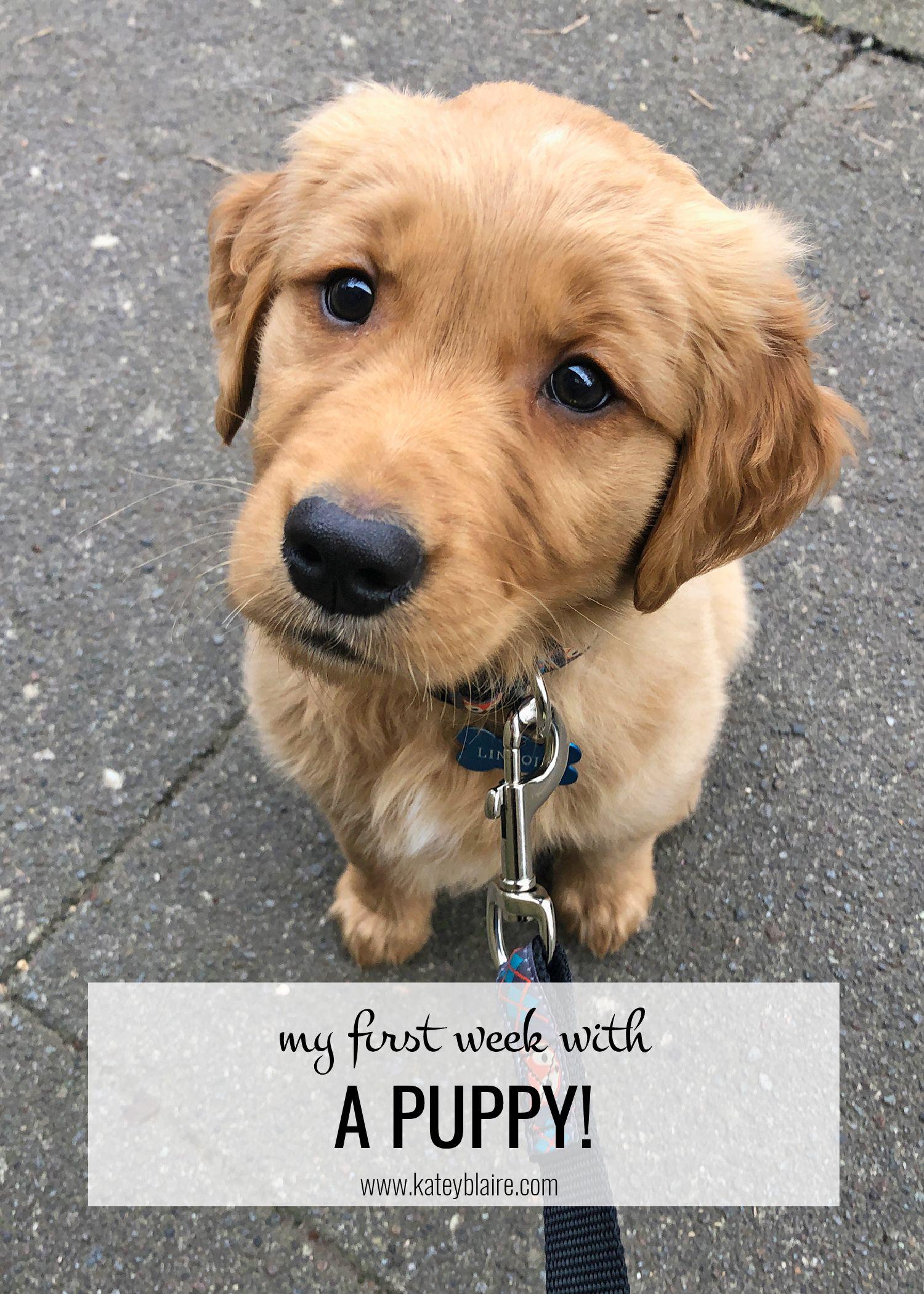 My First Week With A Puppy Puppies Dog Friends Retriever Puppy