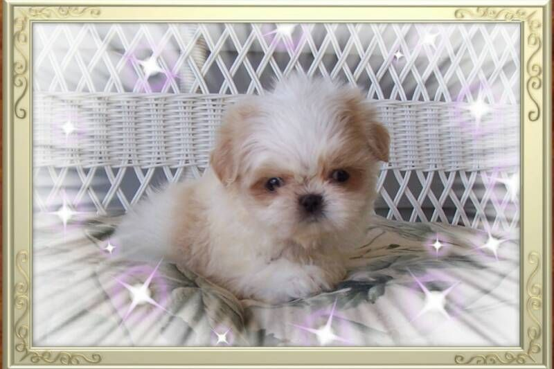 Cream White Akc Tiny Teacup Shih Tzu Puppy From Shih Tzu S By