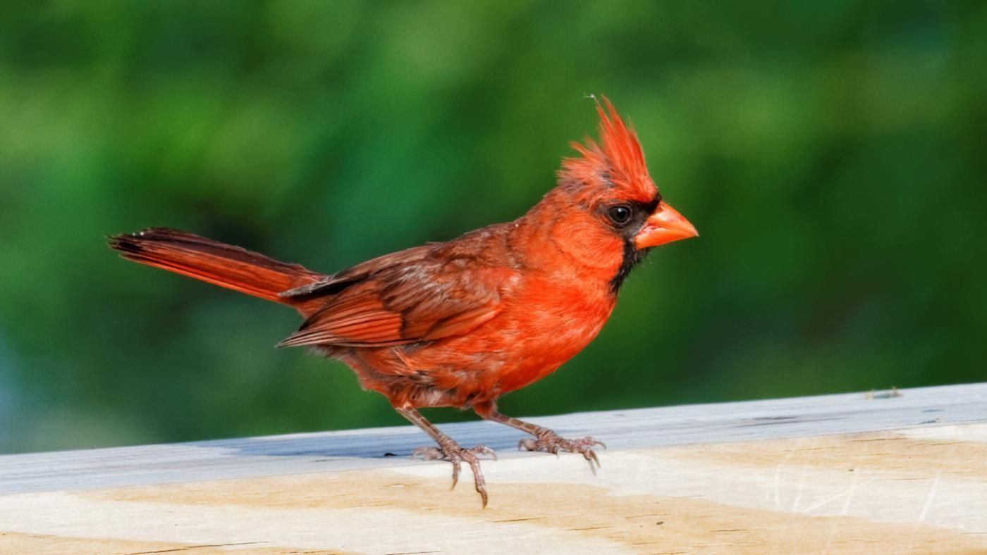 Find out what the meaning of seeing a red cardinal bird after the find out what the meaning of seeing a red cardinal bird after the death of a loved one means by reading our growing collection of first hand card buycottarizona Images