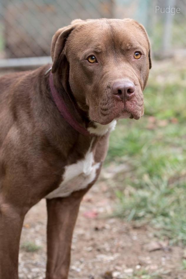 URGENT! Pudge • Dog • Pit Bull Terrier • Adult • Male