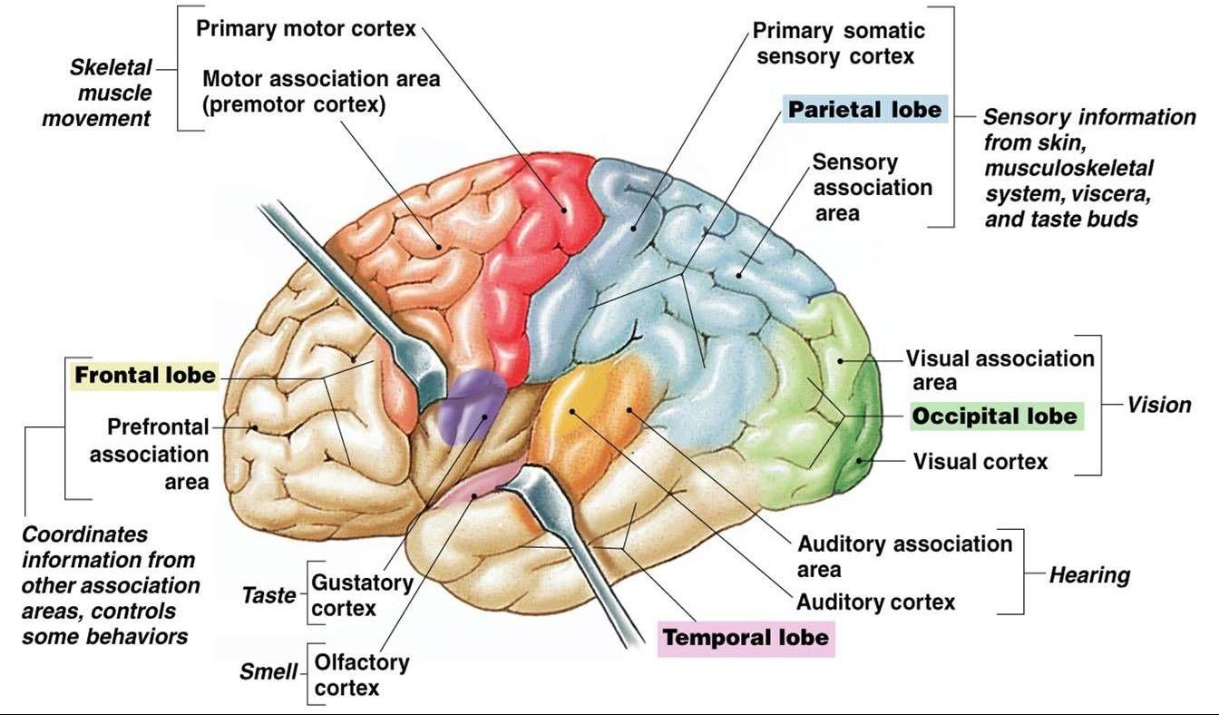 Brain lobes diagram primary motor diy wiring diagrams gustatory cortex lobe yahoo search results anatomy pinterest rh pinterest com brain cortex diagram sheep brain ccuart Gallery