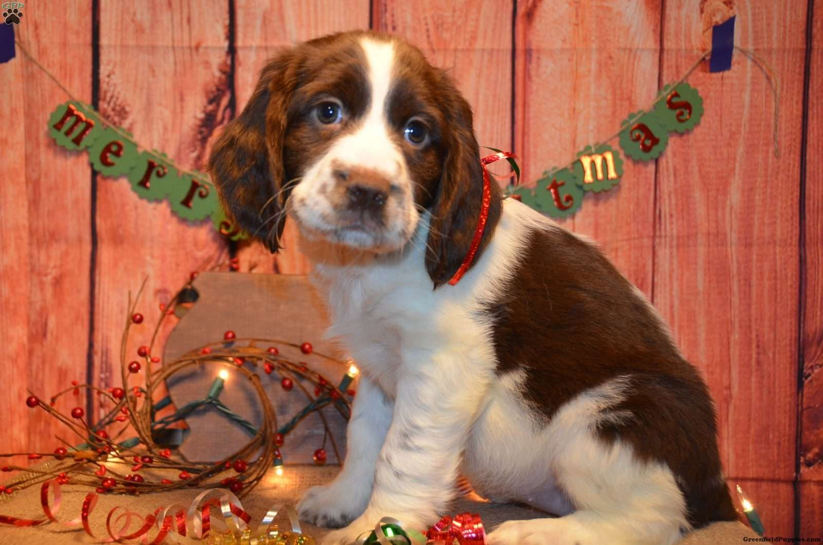 Georgia English Springer Spaniel Puppy For Sale In Ohio English Springer Spaniel Puppy Spaniel Puppies For Sale Springer Spaniel Puppies